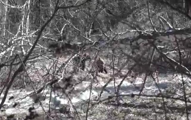 На «Столбах» возле туристических троп сняли на камеру голодных медведей: стояли в 20 метрах