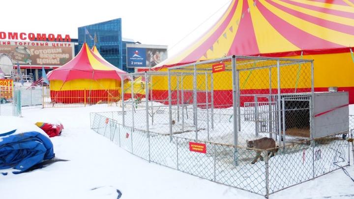 В цирке у «КомсоМОЛЛА» показали, как пума сбежала из клетки