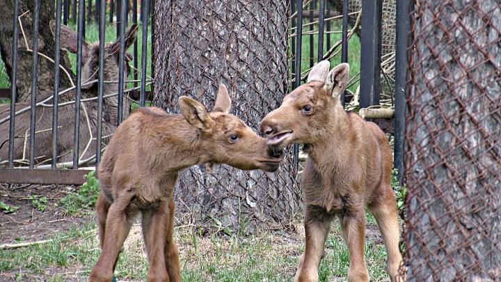 Видео: в Новосибирском зоопарке родились лосята