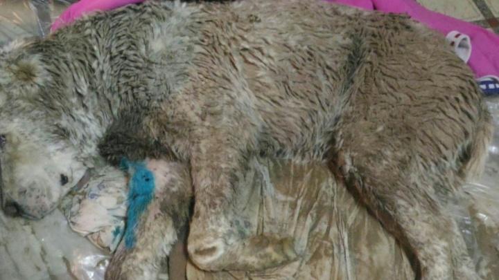 В Уфе хулиганы расстреляли собаку из пневматического оружия