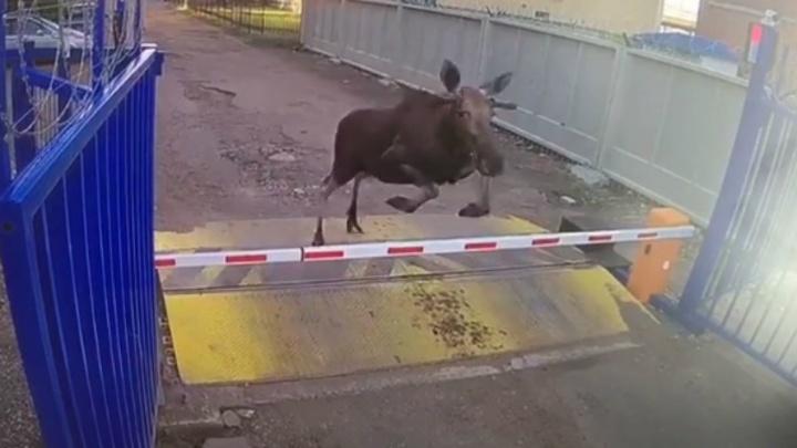 В Ярославле на сортировочный центр почты забежал лось: фото и видео с места