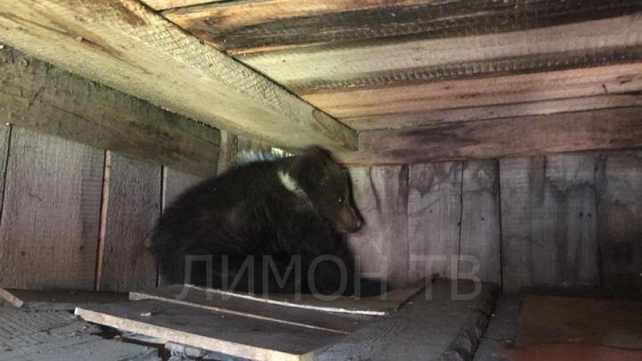 Пойманный на сгущенку медвежонок вторую неделю живёт на станции юннатов в крохотном домике