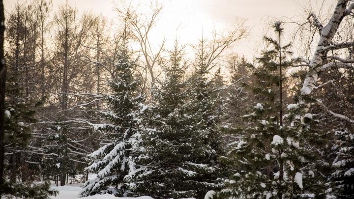 И вот она нарядная: для новосибирцев срубят десятки тысяч новогодних ёлок