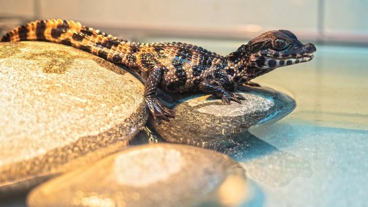 Впервые за 10 лет у крокодилов в России появилось потомство. И это произошло в «Роевом ручье»
