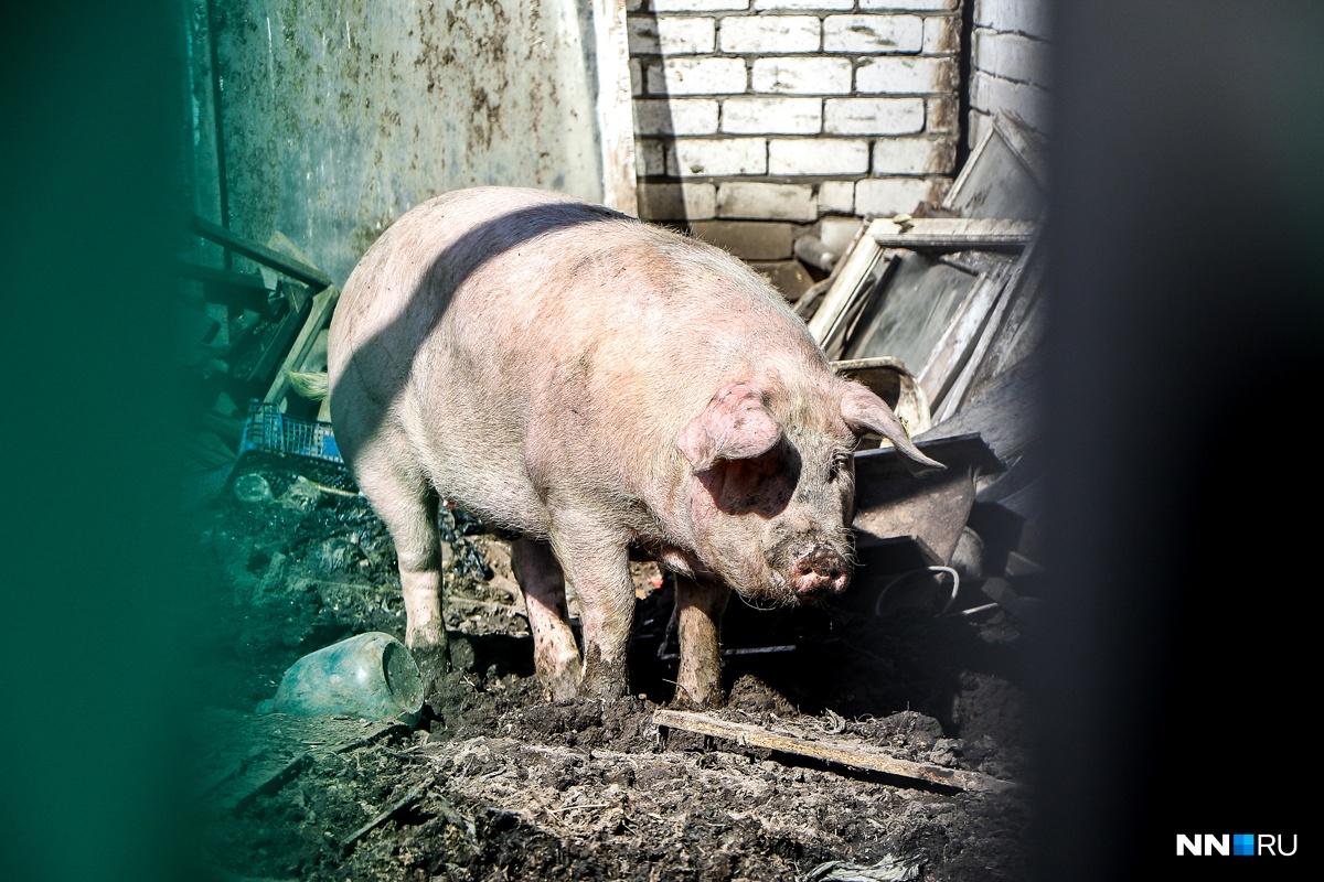 Свиней приходится умерщвлять