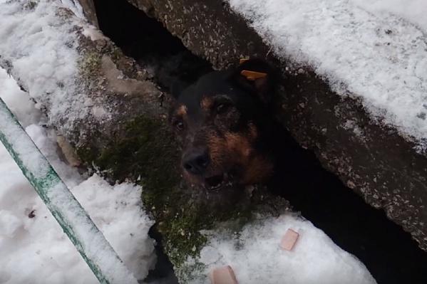 Собака застряла между фундаментом и плитой крыльца дома