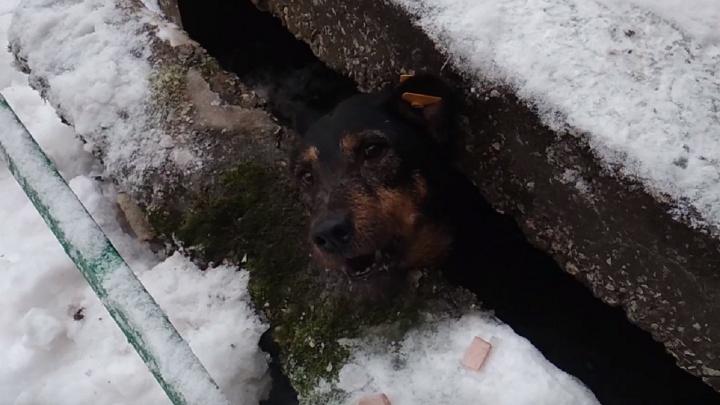 В Перми спасатели достали собаку, застрявшую между бетонными плитами. Видео