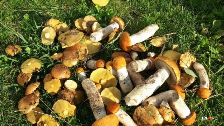Червивые не брать! Санитарные врачи рассказали, как часто екатеринбуржцы травятся грибами