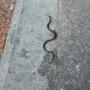 В Ярославле по тротуару ползает змея