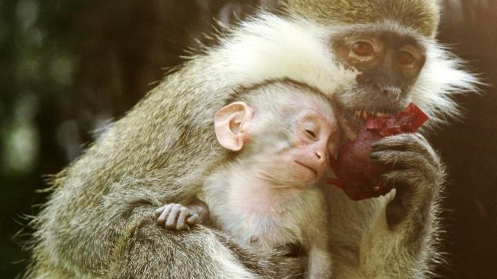 Сколько нежности! Екатеринбургский зоопарк устроил фотосессию новорожденной мартышке и ее маме