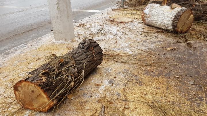 «Кто бы сомневался»: срубленные тополя у администрации Волгоградской области признали больными