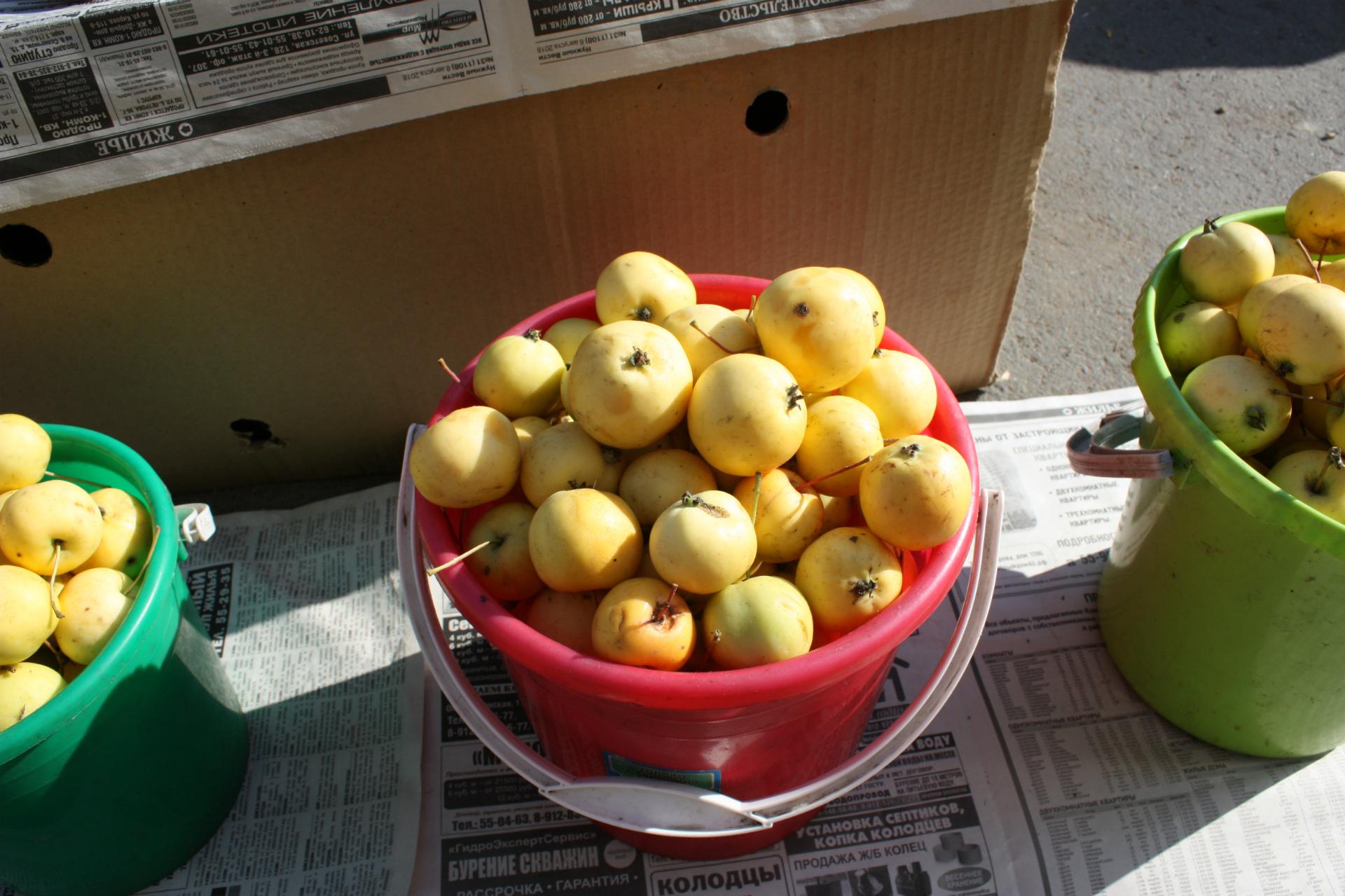 Яблочки хоть и неказистые на вид, но очень сладкие! Уральские наливные называются — вкус, знакомый с детства