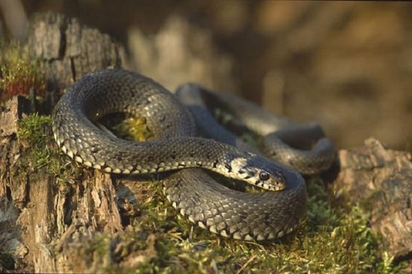 Змею решили не трогать, так как она глубоко спряталась под облицовкой дома и была неядовитой