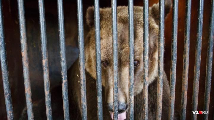 Сбегавшую под Волгоградом медведицу разлучили с хозяином и не выпустят на волю