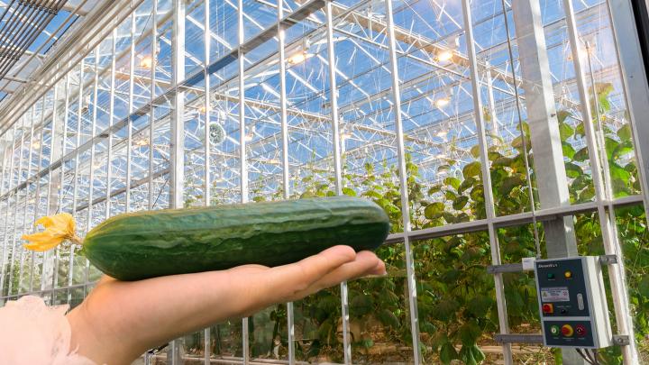 Производитель, который бьет рекорды: как вырастить 200 футбольных полей овощей и осветить город