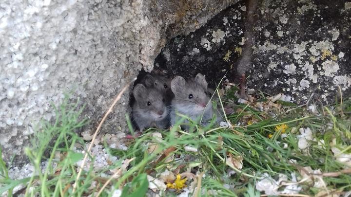 Новосибирские учёные выпустили на Байкале редких полёвок, чтобы спасти их от вымирания