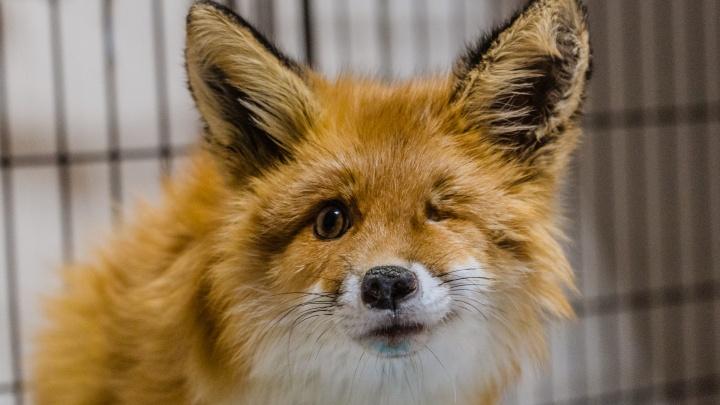 Пермские ветеринары спасли лису Алису. Ей сделали операцию и нашли заботливых хозяев