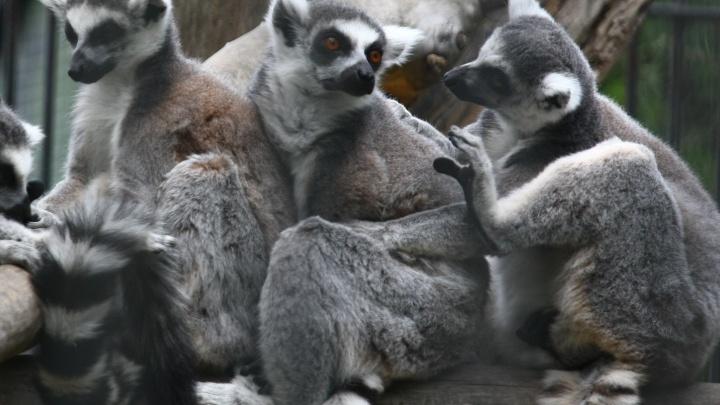 Видео: в Новосибирском зоопарке подросли детёныши кошачьих лемуров