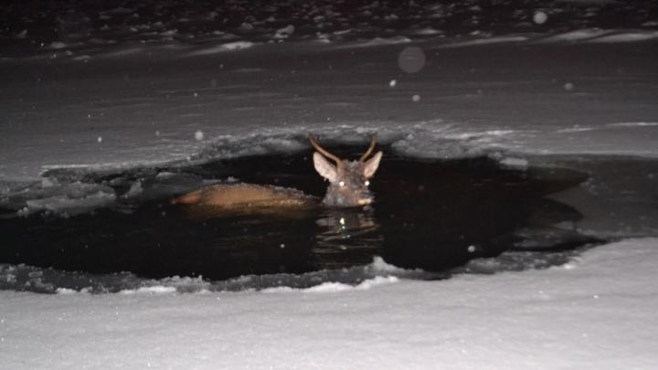 Я от Санты ушел: спасенный из уфимской реки олень снова упал в воду