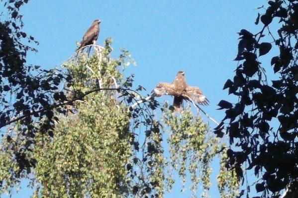 Коршуны прилетели в Новосибирск в апреле. Одна из пар поселилась в парке «Городское начало»