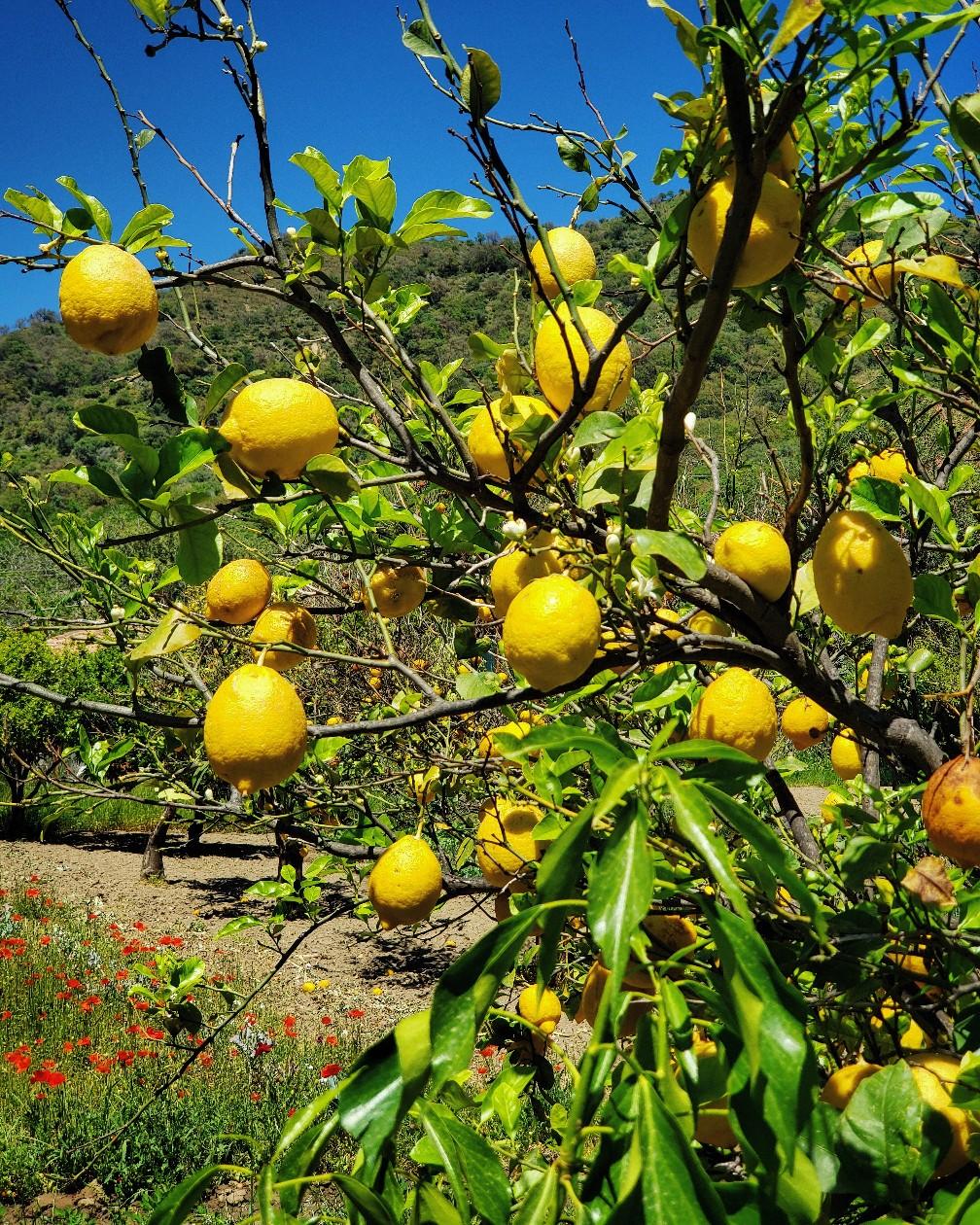Там повсюду цитрусовые и оливковые деревья