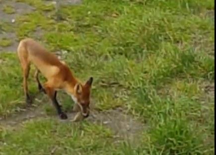 Красноярец заснял ленивую охоту лисы за сусликом