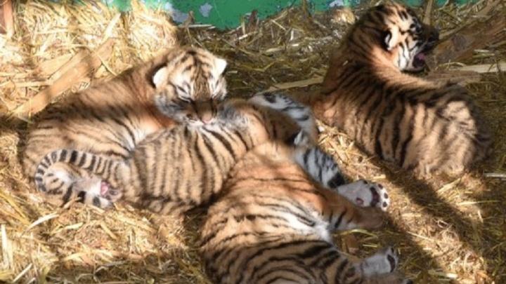 Усато-полосатые: в передвижном зоопарке в Башкирии родились четыре уссурийских тигрёнка