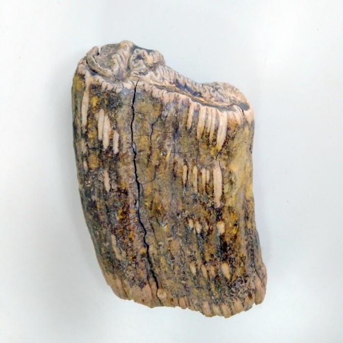 Зуб эласмотерия из палеонтологической коллекции музея ИЭРиЖ УрО РАН. Такие зубы (гипсодонтные) не имеют корней и растут на протяжении всей жизни животного, постепенно истираясь со стороны жевательной поверхности