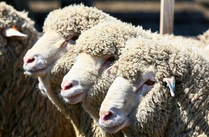 Овцы повредили машину на 200 тысяч рублей
