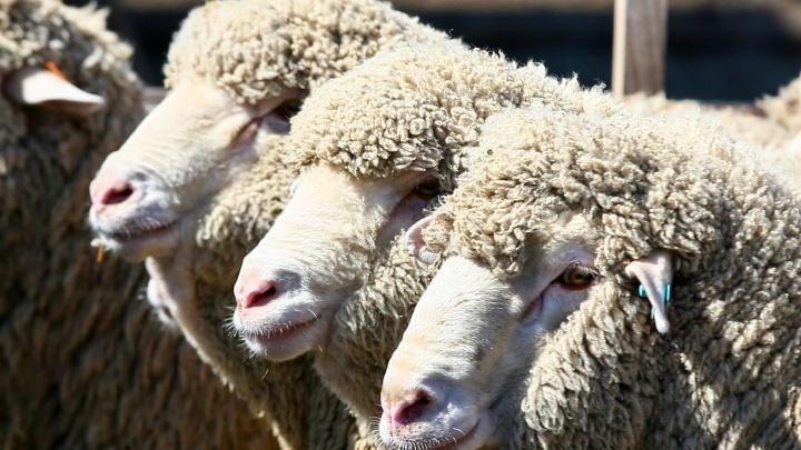 Уралец отсудил 100 тысяч у хозяина стада овец, в которое он врезался наMitsubishi
