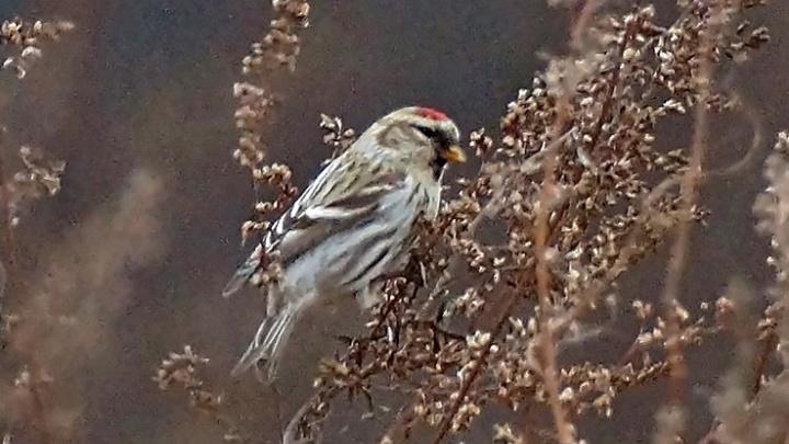 В Красноярский край прилетели зимовать одни из самых маленьких певчих птиц