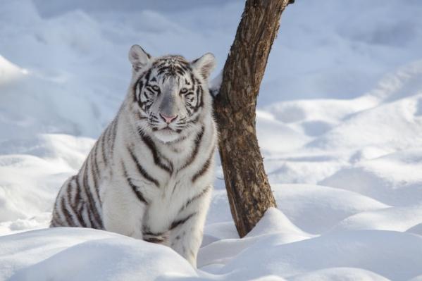 Алексей Парфёнов сфотографировал бенгальского тигра в Новосибирском зоопарке в марте 2017 года