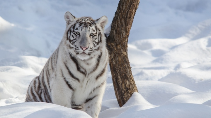 Фото бенгальского тигра в новосибирском снегу попало в 100 лучших снимков престижного конкурса