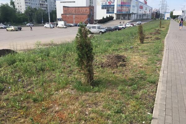 Деревья высадят компактными аллеями