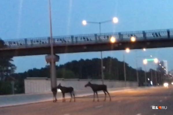 Будьте внимательны на дорогах: столкновение с дикими животными часто приводит к трагедиям