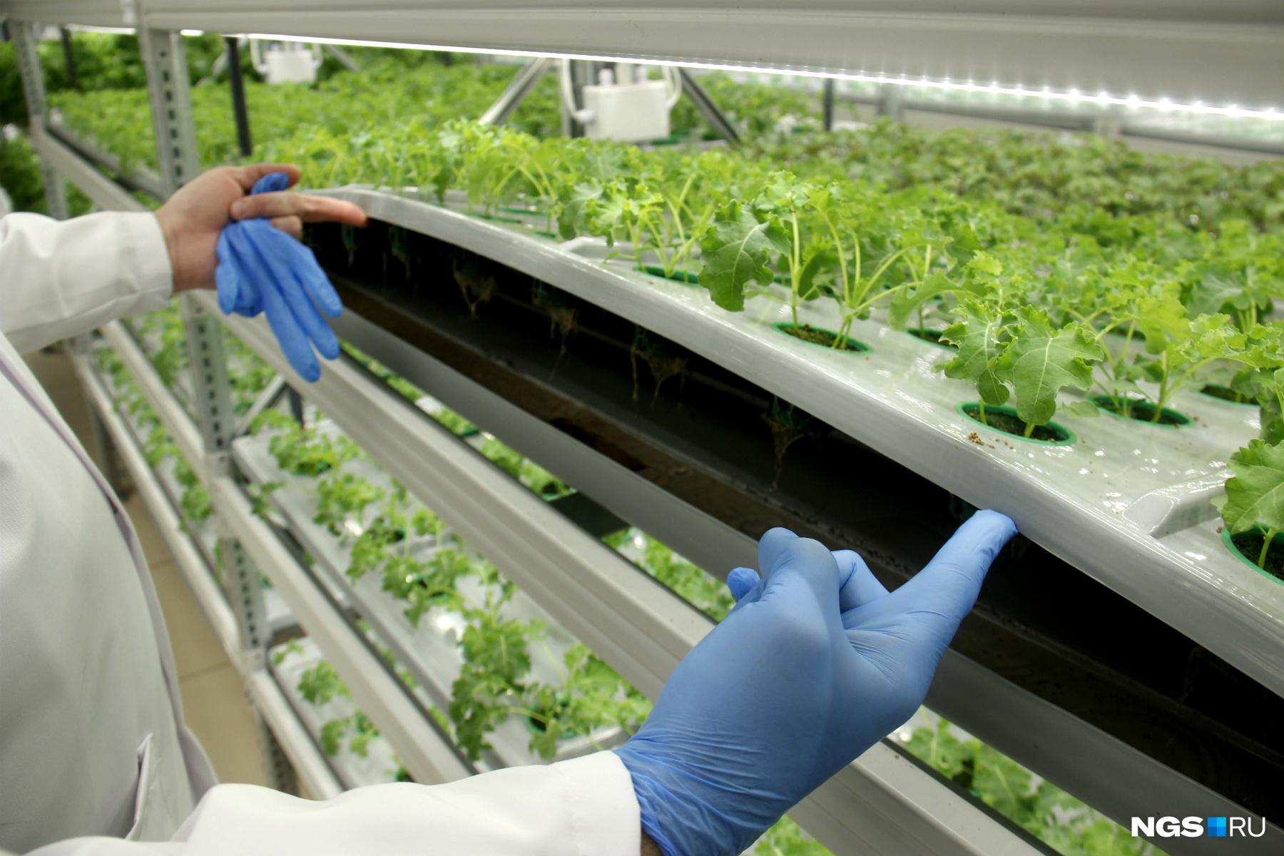 Особенность этой теплицы в том, что питательный состав поступает не в губку, которая окружает горшочек с растением, а свободно течёт под ним