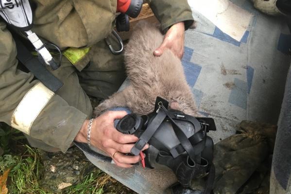 Беременной кошке пожарные дали кислородную маску