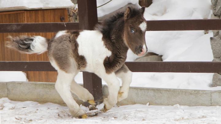 В Екатеринбургском зоопарке у миниатюрных лошадей родился жеребенок с глазами разного цвета