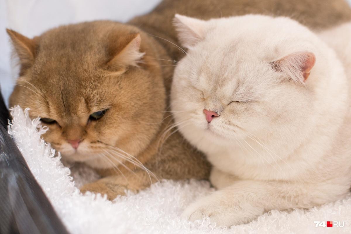 Выставка кошек 17 и 18 ноября проходила в Доме архитектора на проспекте Ленина, 41а