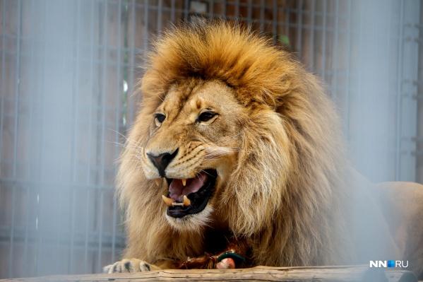 Царь зверей отлично подходит для предсказания финала, тем более с его-то именем— Шаман