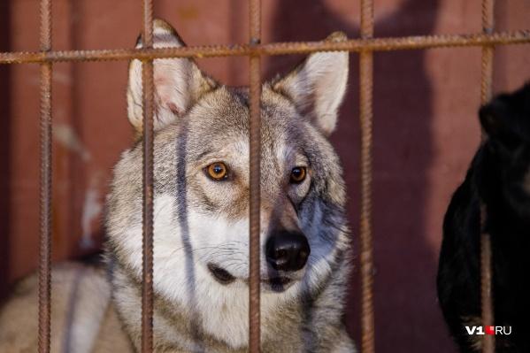 Волгоградец Иван Лебедев спас волчонка от расстрела и нашел в нем верного друга