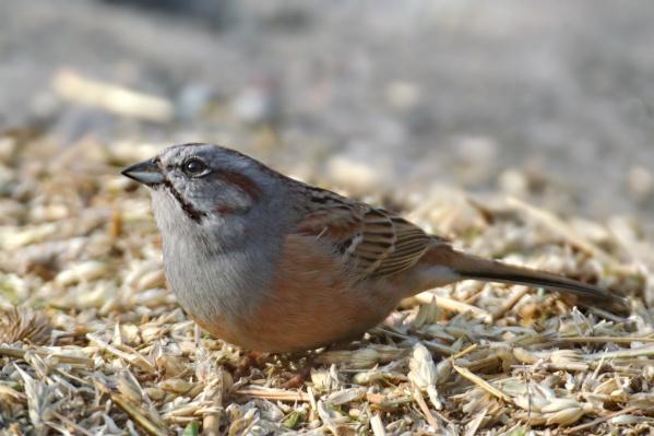 Самцы прилетают раньше самок и поют, сидя на возвышенностях