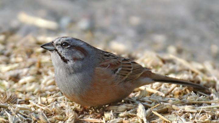 Редкую краснокнижную птицу сняли в заповеднике Шушенского