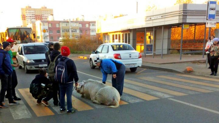 Подложили свинью: в Ярославле хрюшка застопорила движение, развалившись на переходе