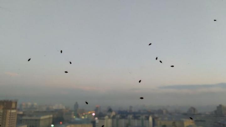 Нашествие клопов в Новосибирске: учёные объяснили поведение насекомых желанием спастись