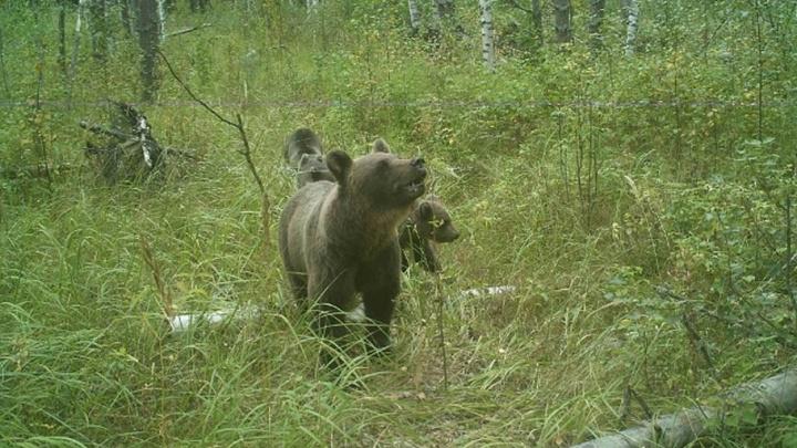 Медведица с тремя медвежатами попала в фотоловушку в Керженском заповеднике