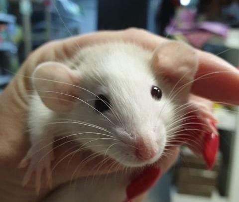 Малыши с характером: каких мышей и крыс продают тюменцы в канун Нового года