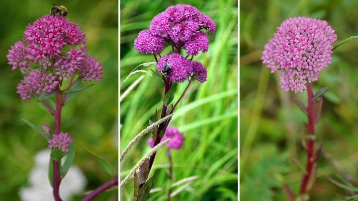 В красноярском заповеднике появился цветок, знаменующий скорый приход осени