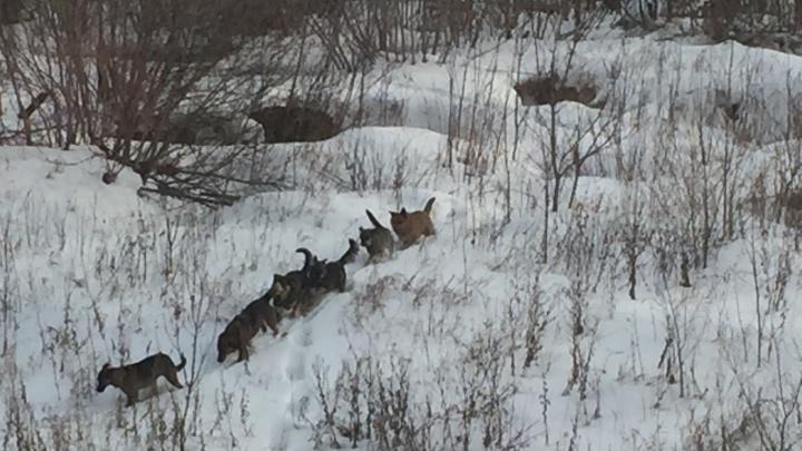Власти Челябинска нашли временное решение проблемы с отловом бездомных собак