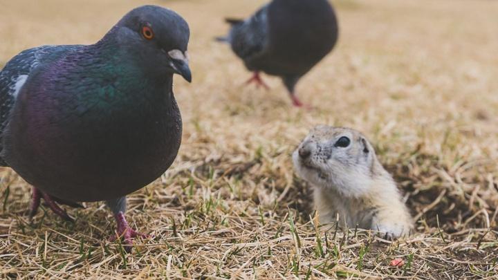 «Бьются об окна и умирают страшной смертью»: норильчан просят подписать петицию в защиту голубей